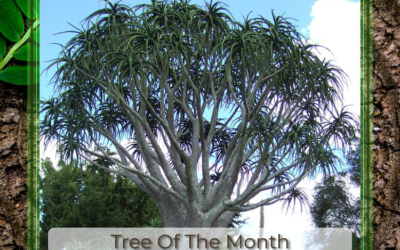 Tree of the Month:Aliodendron Barberae – Tree Aloe