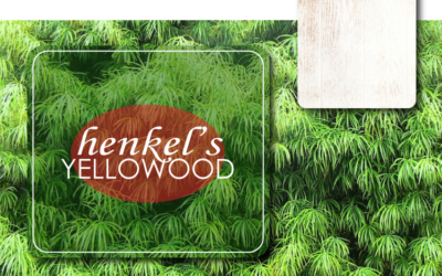 HENKEL'S YELLOWWOOD (PODOCARPUS HENKELII) – THE PERFECT, REUSABLE CHRISTMAS TREE
