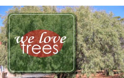 KAREE TREE (SEARSIA LANCEA)