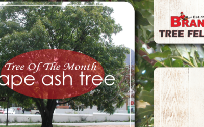 TREE OF THE MONTH – CAPE ASH TREE