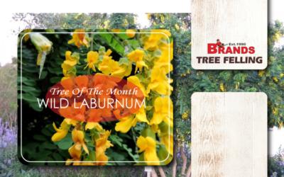 TREE OF THE MONTH – WILD LABURNUM (CALPURNIA AUREA)
