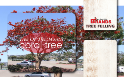 TREE OF THE MONTH – ERYTHRINA LYSISTEMON – CORAL TREE