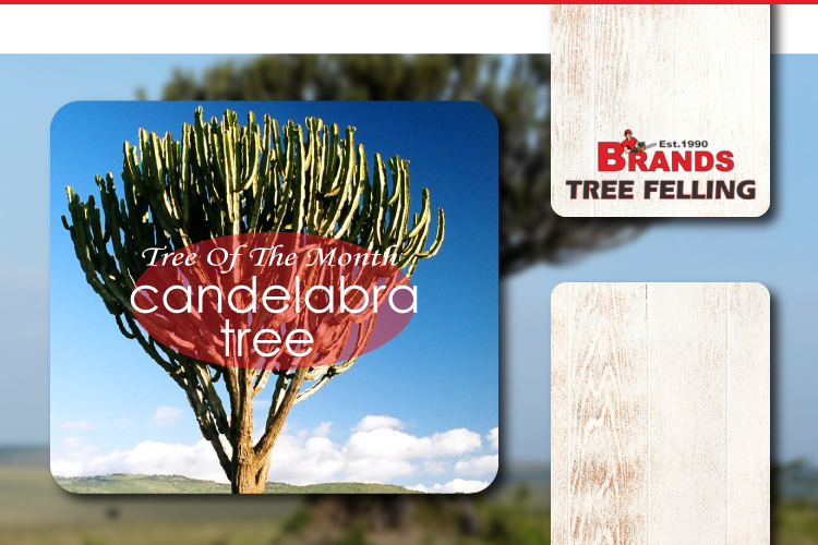 TREE OF THE MONTH – CANDELABRA TREE (EUPHORBIA COOPERI)