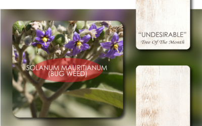 UNDESIRABLE TREE OF THE MONTH: SOLANUM MAURITIANUM (BUG WEED)
