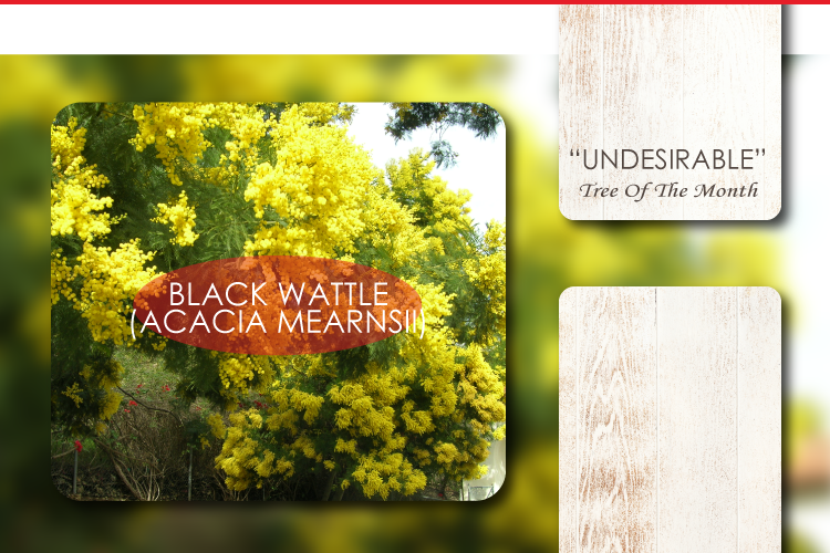 """""""UNDESIRABLE"""" TREE OF THE MONTH:  BLACK WATTLE (ACACIA MEARNSII)"""